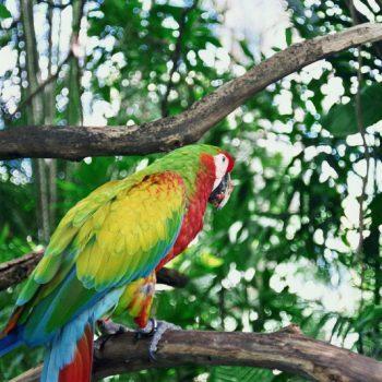 Aguila Macaw