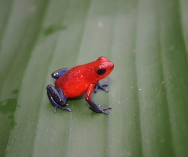poison dart frog t
