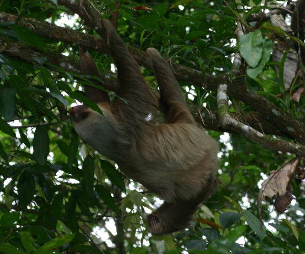 three toe sloth 6